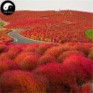 Buy Kochia Scoparia Seeds 800pcs Plant Herb Belvedere For Broom Cypress Di Fu Zi