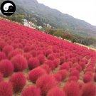 Buy Kochia Scoparia Seeds 200pcs Plant Herb Belvedere For Broom Cypress Di Fu Zi