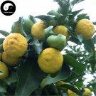 Buy Citrus Medica Tree Seeds 60pcs Plant Citron Fruit For Herb Xiang Yuan