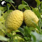 Buy Citrus Medica Tree Seeds 30pcs Plant Citron Fruit For Herb Xiang Yuan