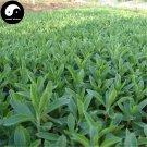 Buy Stevia Seeds 240pcs Plant Chinese Sugar Herb Stevia For Tian Ye Ju