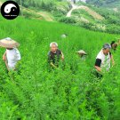 Buy Herba Artemisiae Annua Seeds 800pcs Plant Sweet Wormwood For Herb Qing Hao