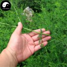 Buy Herba Artemisiae Annua Seeds 400pcs Plant Sweet Wormwood For Herb Qing Hao