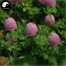 Buy Herba Red Clover Seeds 400pcs Plant Trifolium Pratense For Hong Che Zhou