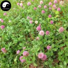 Buy Herba Red Clover Seeds 800pcs Plant Trifolium Pratense For Hong Che Zhou