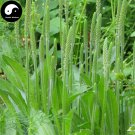 Buy Plantain Herb Seeds 400pcs Plant Herba Plantaginis For Che Qian Cao