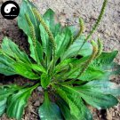 Buy Plantain Herb Seeds 100pcs Plant Herba Plantaginis For Che Qian Cao