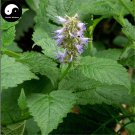 Buy Potchouli Herb Seeds 100pcs Plant Agastache Rugosa For Herba Guang Huo Xiang