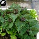 Buy Herb Perilla Seeds 400pcs Plant Herba Purple Basil For Perilla Leaf Zi Su
