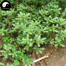 Buy Herba Portulacae Seeds 200pcs Plant Chinese Parslane Herb For Ma Chi Xian