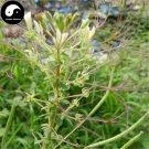 Buy Cleomes Gynandrae Seeds 100pcs Plant Spiderflower Herb For Bai Hua Cai