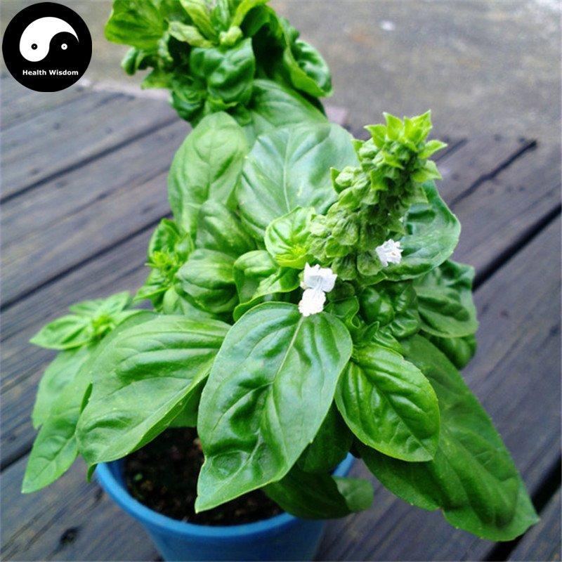 Buy Sweet Basil Herb Seeds 400pcs Plant Herba Ocimi For Ocimum Basilicum Luo Le