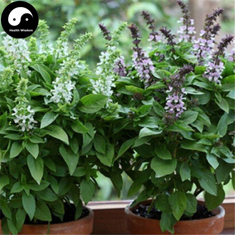 Buy Clove Basil Herb Seeds 100pcs Plant Ocimum Gratissimum For Luo Le