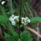 Buy Herba Patriniae Seeds 200pcs Plant Dahurian Patrinia Herb For Su Bai Jiang