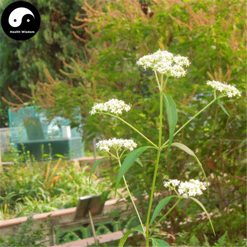 Buy Herba Patriniae Seeds 400pcs Plant Dahurian Patrinia Herb For Su Bai Jiang