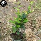 Buy Tieguanyin Tree Seeds 30pcs Plant Olong Tea Tie Guan Yin For Ti Kwan Yin