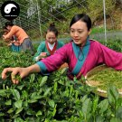 Buy Green Tea Tree Seeds 60pcs Plant West Lake Dragon Well For Xi Hu Long Jing