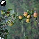 Buy Oil Camellia Tea Tree Seeds 60pcs Plant Camellia Oleifera For You Cha