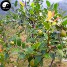 Buy Oil Camellia Tea Tree Seeds 30pcs Plant Camellia Oleifera For You Cha