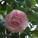 Buy Camellia Japonica Tree Seeds 60pcs Plant Camellia For Tea Flower Cha Hua