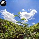Buy Wuyi Oolong Tea Tree Seeds 60pcs Plant Wu Yi Yan Cha For Da Hong Pao
