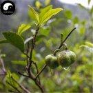Buy Wuyi Black Tea Tree Seeds 30pcs Plant Wu Yi Black Tea For Jin Jun Mei