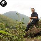 Buy Wuyi Black Tea Tree Seeds 60pcs Plant Wu Yi Black Tea For Lapsang Souchong