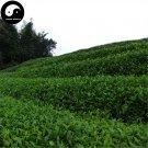 Buy Black Tea Tree Seeds 120pcs Plant Chinese Black Tea For Tan Yang Gong Fu