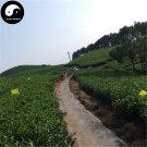 Buy Black Tea Tree Seeds 60pcs Plant Chinese Black Tea For Tan Yang Gong Fu