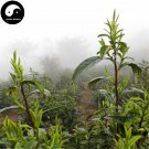 Buy Green Tea Tree Seeds 60pcs Plant Chinese Green Tea For Huang Shan Mao Feng