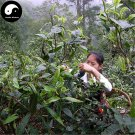 Buy Pu Erh Tea Tree Seeds 120pcs Plant Chinese Puer Tea Tree For Yunnan Pu Er