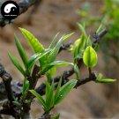 Buy Pu Erh Tea Tree Seeds 30pcs Plant Chinese Puer Tea Tree For Yunnan Pu Er