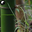 Buy Thorn Bamboo Tree Seeds 50pcs Plant Chimonobambusa Phyllostachys For Bamboo