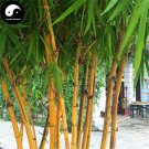 Buy Golden Bamboo Tree Seeds 100pcs Plant Bamboo For Bamboo Garden