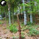 Buy Tortoise Shell Bamboo Tree Seeds 100pcs Plant Bamboo For Bamboo Garden