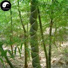 Buy Tortoise Shell Bamboo Tree Seeds 50pcs Plant Bamboo For Bamboo Garden