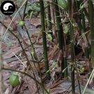 Buy Pear Bamboo Tree Seeds 30pcs Plant Melocanna Baccifera For Bamboo Garden