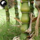 Buy Buddha Bamboo Tree Seeds 25pcs Plant Bambusa Ventricosa For Luohan Bamboo