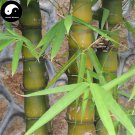 Buy Buddha Bamboo Tree Seeds 50pcs Plant Bambusa Ventricosa For Luohan Bamboo