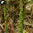 Buy Buddha Bamboo Tree Seeds 100pcs Plant Bambusa Ventricosa For Luohan Bamboo
