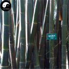Buy Ci Bamboo Tree Seeds 120pcs Plant Chinese Bamboo For Bamboo Shoots