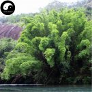 Buy Fernleaf Bamboo Tree Seeds 60pcs Plant Chinese Bamboo For Bamboo Garden