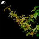 Buy Boston Ivy Tree Seeds 100pcs Plant Vine Tree Parthenocarpy
