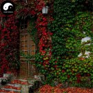 Buy Boston Ivy Tree Seeds 400pcs Plant Vine Tree Parthenocarpy