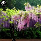 Buy Wisteria Tree Seeds 30pcs Plant Vine Tree Wisteria Sinensis