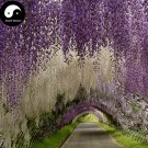 Buy Wisteria Tree Seeds 60pcs Plant Vine Tree Wisteria Sinensis