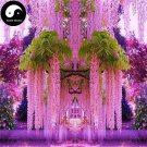 Buy Wisteria Tree Seeds 120pcs Plant Vine Tree Wisteria Sinensis