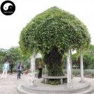 Buy Evergreen Mucuna Stem Tree Seeds 20pcs Plant Vine Tree Mucuna You Ma Teng