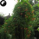 Buy Trumpet Creeper Tree Seeds 240pcs Plant Campsis Grandiflora Ling Xiao Flower