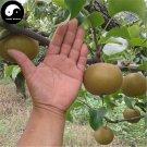 Buy Yamanashi Fruit Tree Seeds 100pcs Plant Sorb Pear For Chinese Pyrus Shan Li